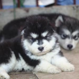 Alaska đen trắng