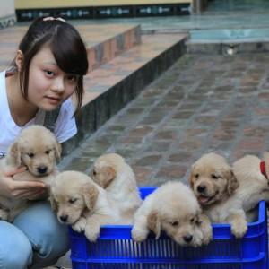 Golden Retriever - Tùng Lộc Pet