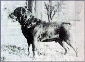 tiêu chuẩn chó Rottweiler