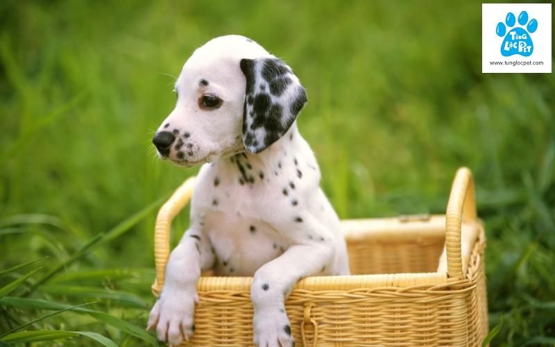 chó đốm, dalmatian