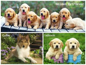 Những giống chó thông minh, dễ bảo và thân thiện