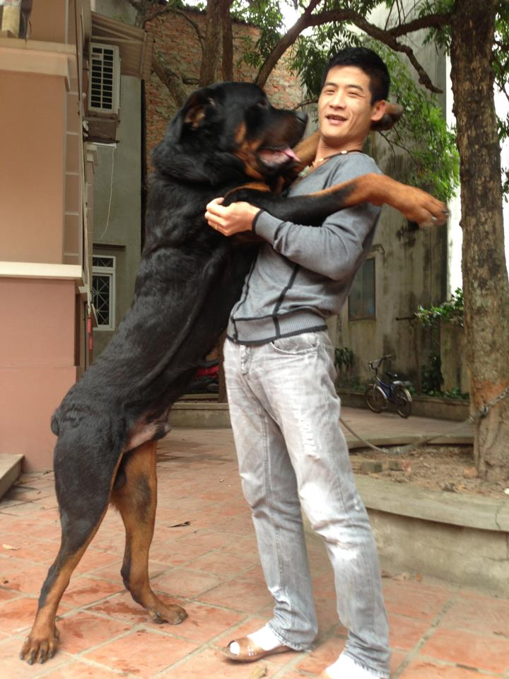 Gau_rottweiler