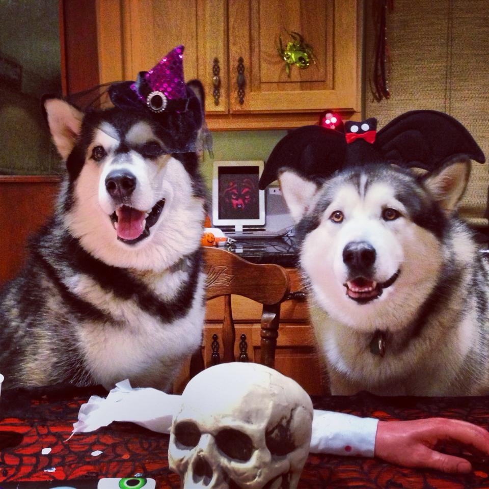 Halloween_Alaska_Husky_01