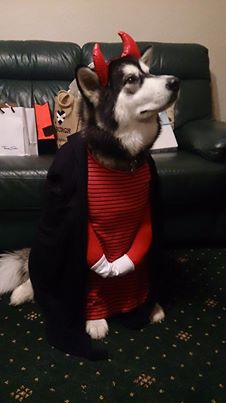 Halloween_Alaska_Husky_06