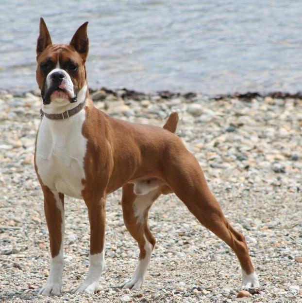 Boxer là giống chó khỏe mạnh