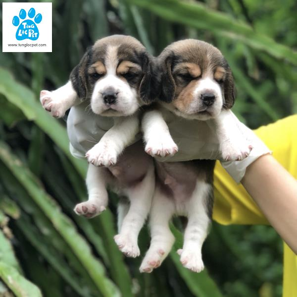 Chó săn thỏ Beagle Tùng Lộc Pet