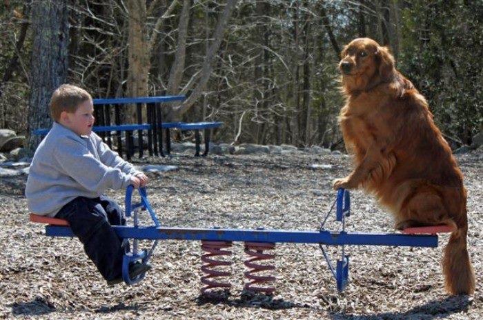 Chó thân thiện Golden Retriever