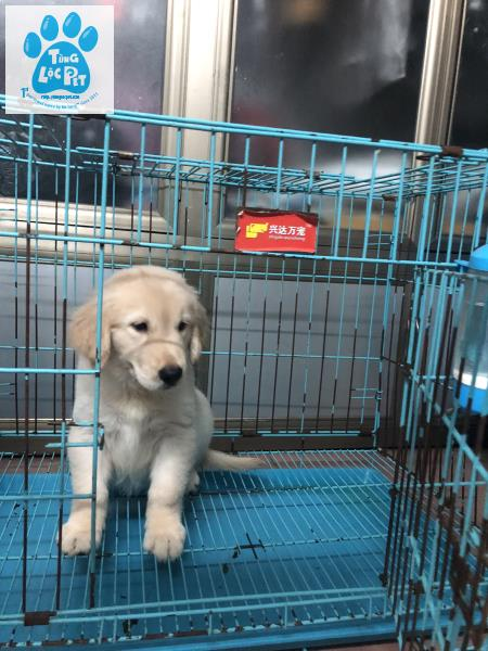 chó Golden Retriever Tùng Lộc Pet