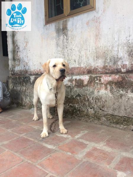 Labrador Fuki