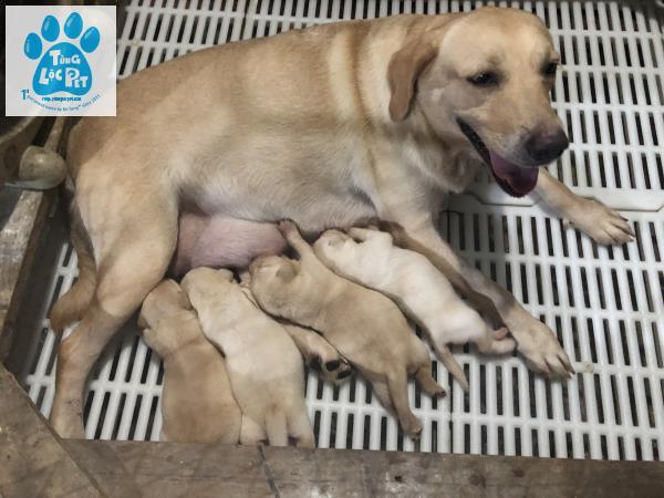 bán chó Labrador tùng lộc pet
