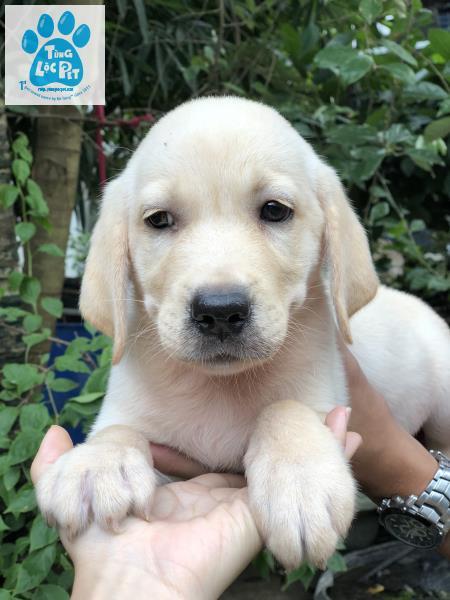 Labrador đực vàng