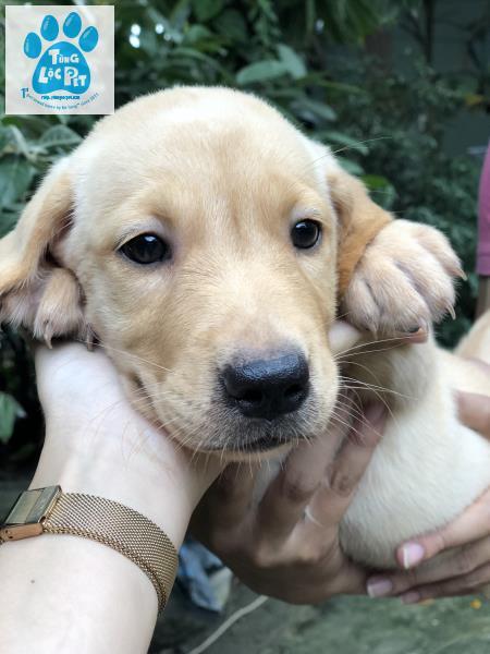 Labrador cái mũi đen
