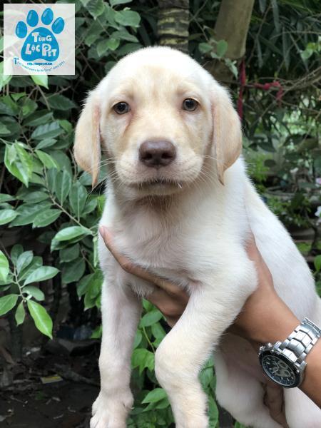 Labrador vàng