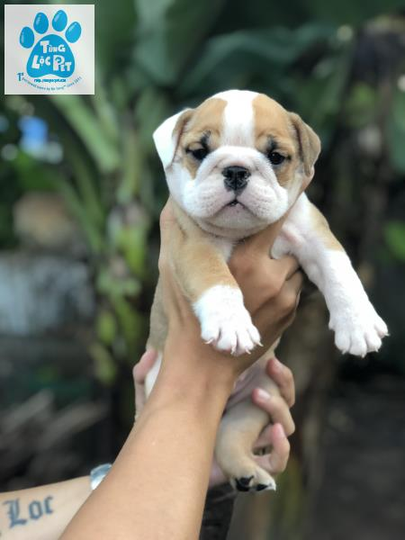 chó english bulldog