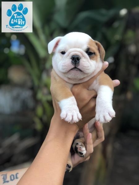 chó bulldog