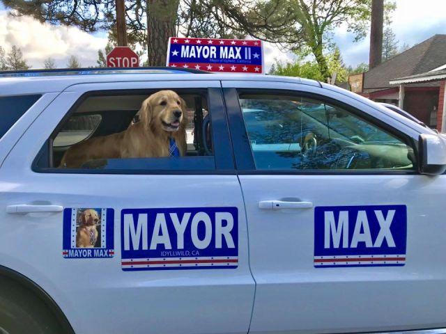 Chó Golden làm thị trưởng