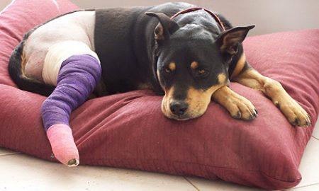 Tùng Lộc Pet – Biểu hiện và cách xử lý khi cún bị đau chân