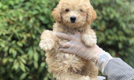 Tùng Lộc Pet – Bán đàn chó Toy Poodle siêu xinh tháng 5/2018