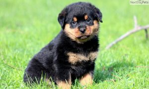 Tùng Lộc Pet – Bạn nên đặt tên gì cho chú Rottweiler của mình