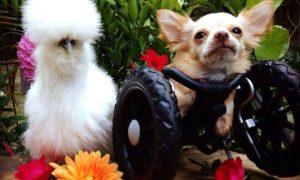 Tùng Lộc Pet – Tình bạn giữa chú chó què và nàng gà lông xù