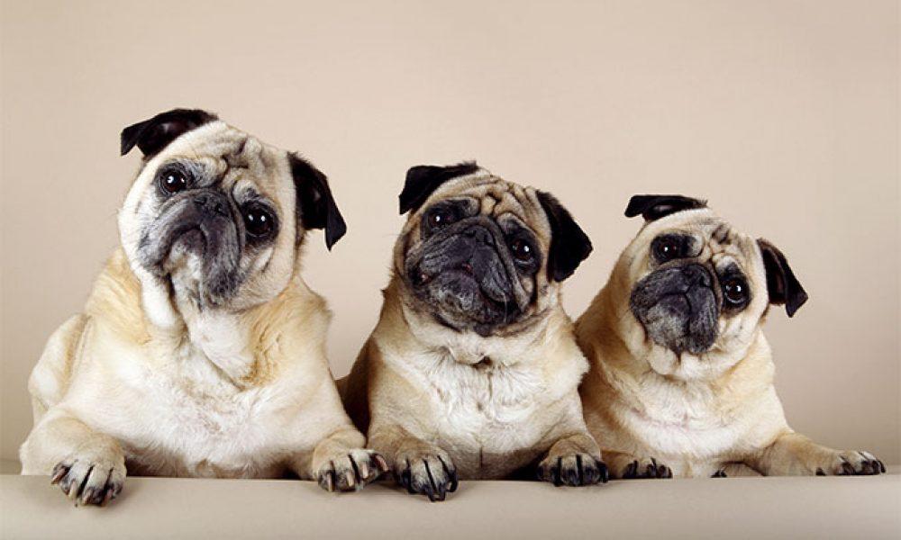 Tùng Lộc Pet – 11 điều về giống chó Pug mà nhiều người không biết( phần 1)