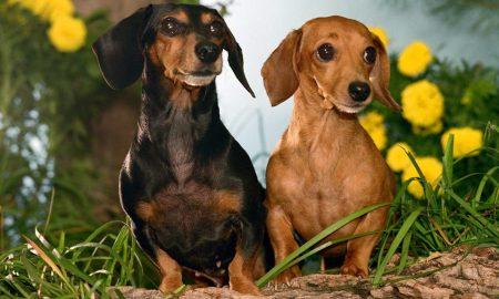 Nguồn gốc giống chó Dachshund – Lạp Xưởng
