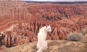 Tùng Lộc Pet – Chú chó trắng chu du khắp nước Mỹ
