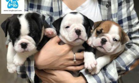 Tùng Lộc Pet – Chào bán đàn chó English bulldog tháng 07/2018