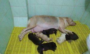 Tùng Lộc Pet – Nhận đặt và bán đàn chó Labrador 6 bé đầu tháng 09/2016