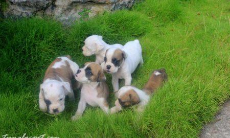 Tùng Lộc Pet – Nhận đặt và bán đán chó Boxer (lai Bulldog)