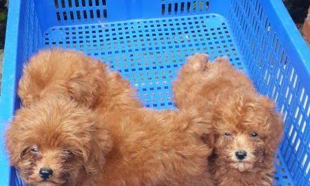 Tùng Lộc Pet – Nhận đặt và bán đàn chó Toy Poodle màu nâu