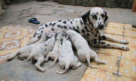 Tùng Lộc Pet – Nhận đặt và bán đàn chó Đốm xuất chuồng tháng 11/2014