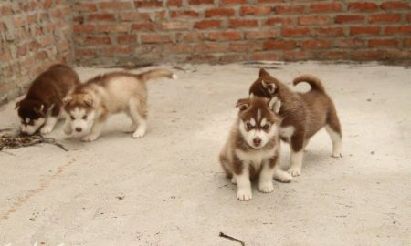 Tùng Lộc Pet – Cập nhật hình ảnh đàn chó Husky gần 2 tháng tuổi
