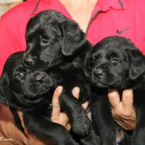 Labrador Retriever – Màu đen