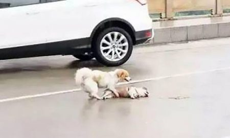 Tùng Lộc Pet – Chú chó không chịu rời xác bạn trên đường