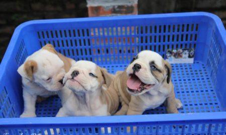 Tùng Lộc Pet – Chào bán đàn chó Bulldog xinh kute