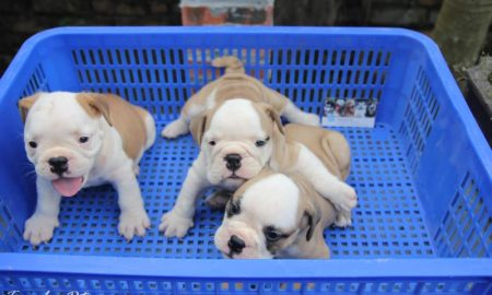 Clip: Đàn chó bulldog puppies xinh xắn ở Tùng Lộc Pet