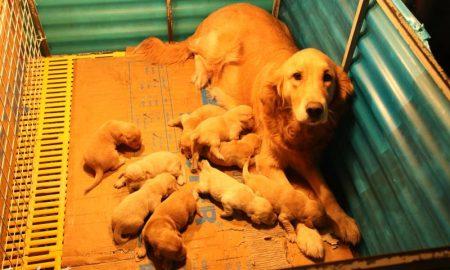 Tùng Lộc Pet – Nhận đặt – bán đàn chó Golden Retriever 9 bé