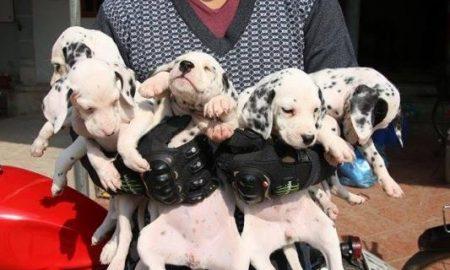 Tùng Lộc Pet – Đàn chó Đốm – Dalmatian xuất chuồng tháng 01-2015