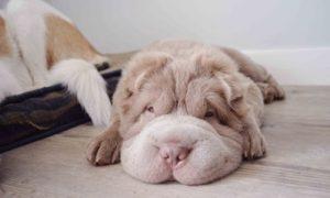 Tùng Lộc Pet – Cô chó Shar Pei lông gấu nổi tiếng với bộ mặt lúc nào cũng ngắn tũn