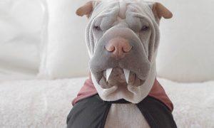 Tùng Lộc Pet – Chú chó Shar Pei mặt ngố sở hữu gu thời trang sành điệu