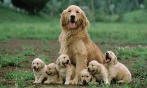 Tùng Lộc Pet- Quy trình phối giống chó và cách chăm sóc cho chó mang thai ( phần 1)