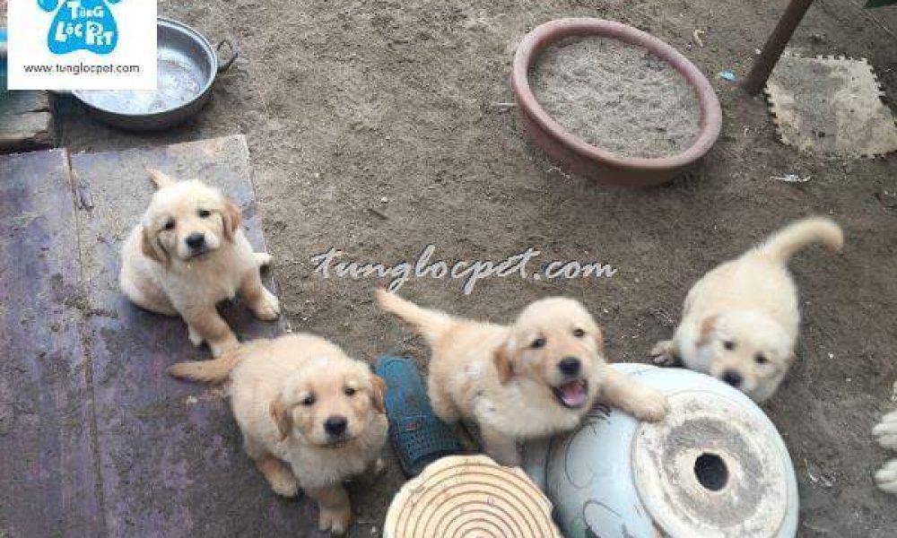 Tùng Lộc Pet – Chào bán đàn chó Golden Retriever 5 bé tháng 5/2017