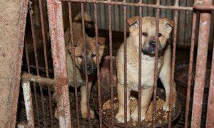 Tùng Lộc Pet – Giải cứu thành công 57 chú chó từ lò giết mổ ở Hàn Quốc