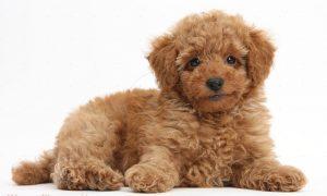 Tùng Lộc Pet – Bạn biết gì về Poodle