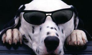Những bước huấn luyện một chú chó Dalmatian bị điếc