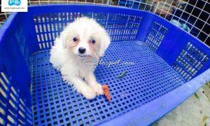 Tùng Lộc Pet – Chào bán đàn chó Toy Poodle màu trắng tháng 11/2015