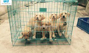 Tùng Lộc Pet – Chào bán đàn chó Labrador Retriever 6 bé màu vàng tháng 12/2015