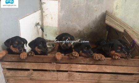 Tùng Lộc Pet – Chào bán đàn chó Rottweiler cuối tháng 12/2015