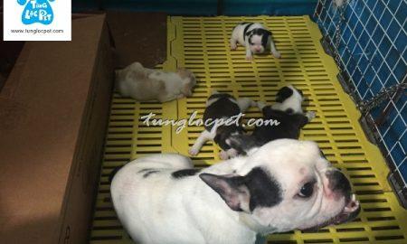 Tùng Lộc Pet – Nhận đặt và bán đàn chó Bull Pháp (French Bulldog) có giấy VKA